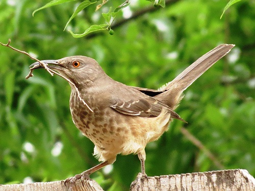 Bird Walk 2013-03-12 Curve-Billed Thrasher John Brush