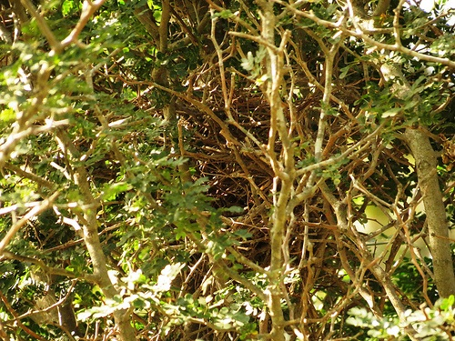Bird Walk 2013-03-12 Curve-Billed Thrasher Nest John Brush