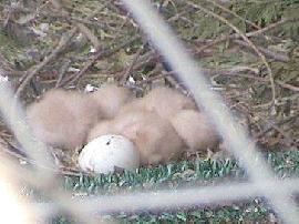 harris egg