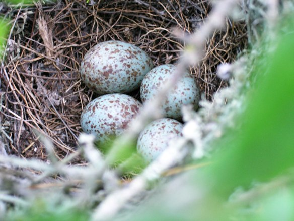 mockingbird-eggs-050707