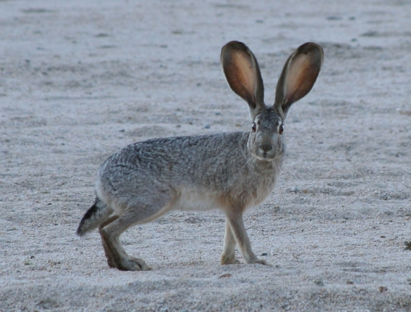 Article 2013 Black-tailed Jackrabbit creative commons