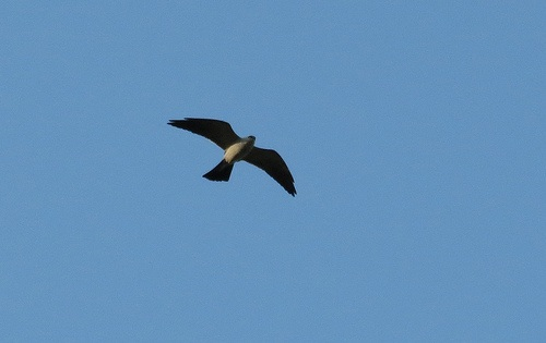 Bird Walk 2013-04-16 Mississippi Kite