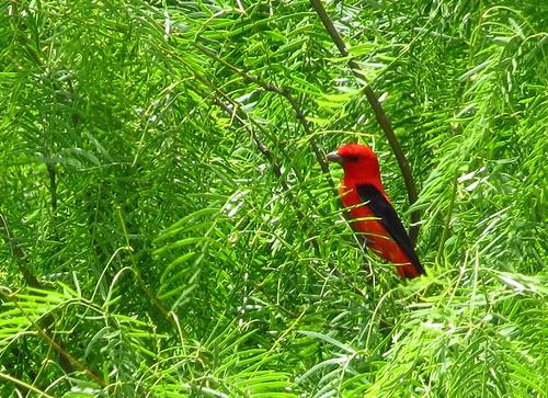 Bird Walk 2013-04-23 Scarlet Tanager John Brush
