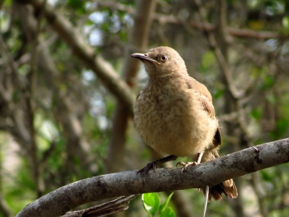 Curve-billed Thrasher John Brush Quinta Mazatlan