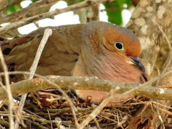 Mourning Dove John Brush Quinta Mazatlan