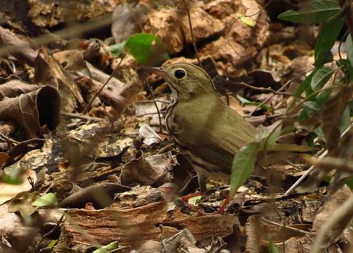 Bird Walk 2013-04-30 Ovenbird John Brush