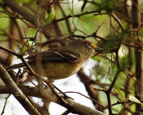 Bird Walk 2013-04-30 White-eyed Vireo John Brush