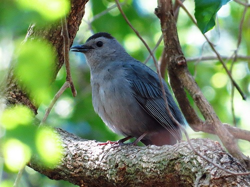 Bird Walk 2013-05-14 Gray Catbird John Brush