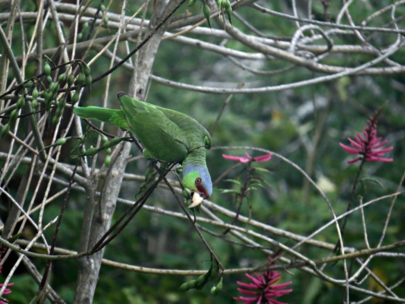 Lilac Crowned Parrot Christine Williams