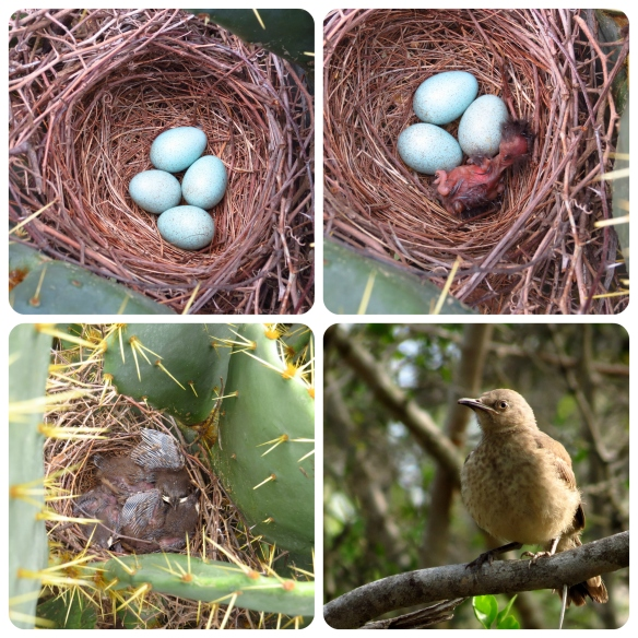 Curve-billed Thrasher Collage
