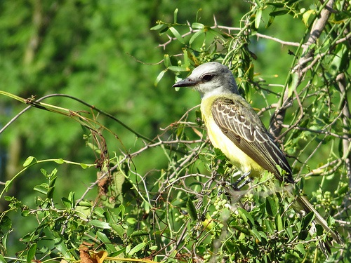 Bird Walk 2013-08-03 Couch's Kingbird John Brush