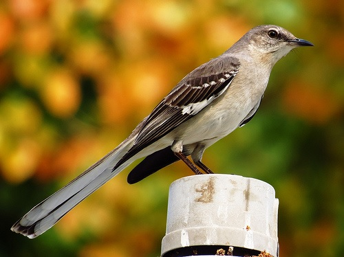 Bird Walk 2013-08-03 Northern Mockingbird John Brush