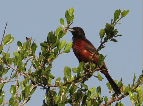 Bird Walk 2013-08-10 Orchard Oriole 2 John Brush