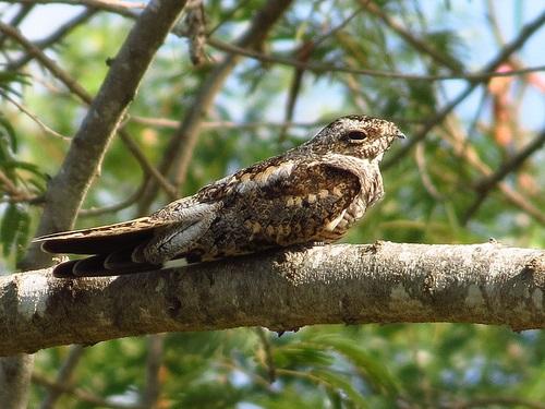 Bird Walk 2013-08-24 Common Nighthawk John Brush