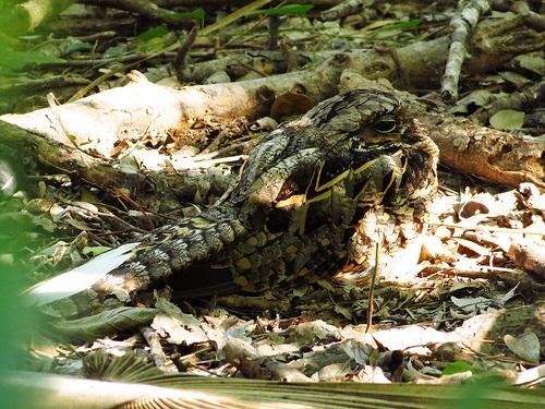 Bird Walk 2013-08-24 Common Pauraque John Brush