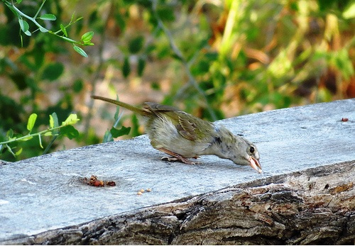 Quinta Mazatlan Olive Sparrow