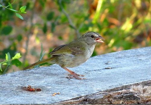 Bird Walk 2013-08-24 Olive Sparrow2 John Brush
