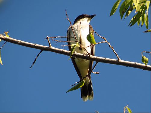 Bird Walk 8-31-13 Eastern Kingbird John Brush