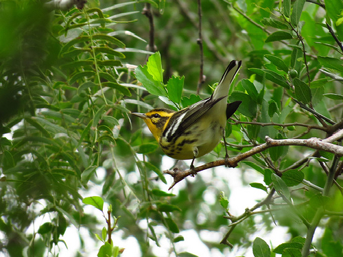 Bird Walk 9-21-13 Blackburnian Warbler John Brush