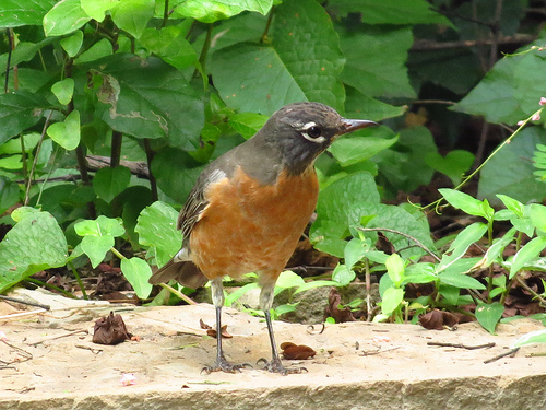 Bird Walk 9-28-13 American Robin John Brush