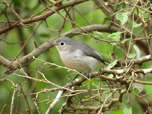 Bird Walk 9-28-13 Blue-gray Gnatcatcher John Brush