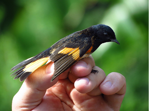 Bird Banding 10-27-13 American Redstart John Brush