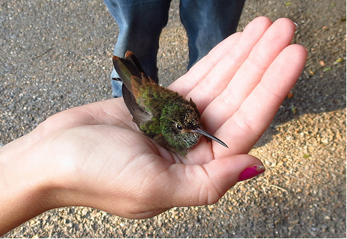 Bird Banding 10-27-13 Buff-bellied Hummingbird John Brush