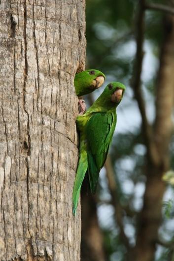 Green Parakeet V-Steve Bentsen