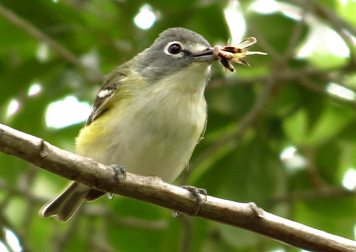Bird Walk 11-16-13 Blue-headed Vireo John Brush