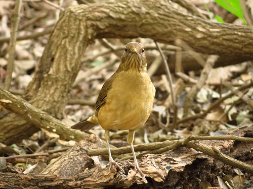 Bird Walk 11-16-13 Clay-colored Thrush John Brush