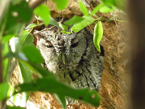 Bird Walk 11-16-13 Eastern Screech-Owl John Brush