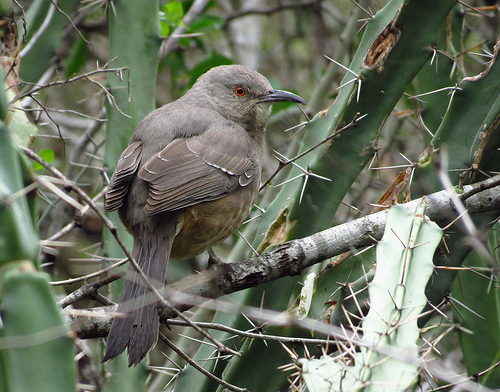 Bird Walk 11-23-13 Curve-billed Thrasher John Brush
