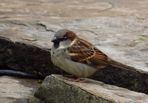 Bird Walk 11-23-13 House Sparrow John Brush