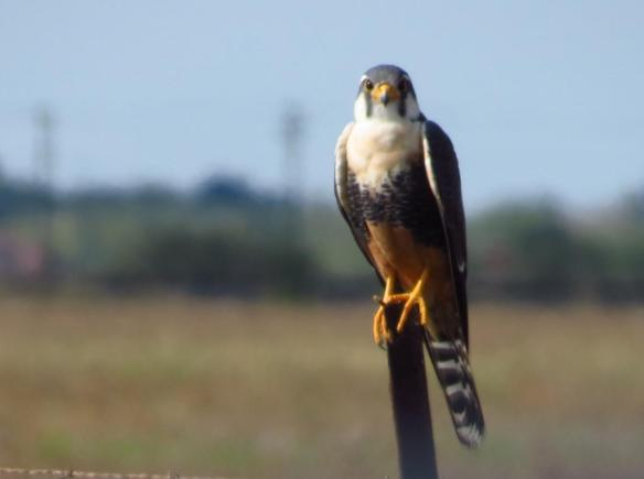 Aplomado Falcon (Old PI road) 12-18-2013