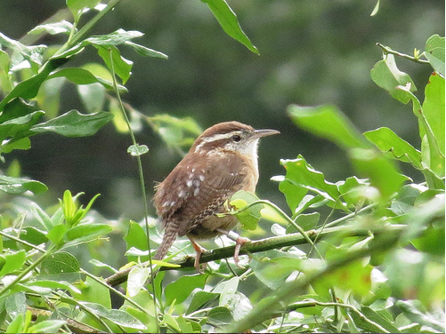 Bird Walk 12-3-2013 Carolina Wren John Brush