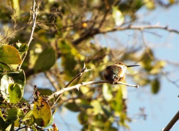 Rufous Hummingbird QM 1-25-2013
