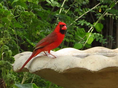 Bird Walk 2013-06-22 Northern Cardinal John Brush