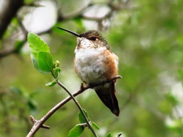 Rufous Hummingbird (JSB)