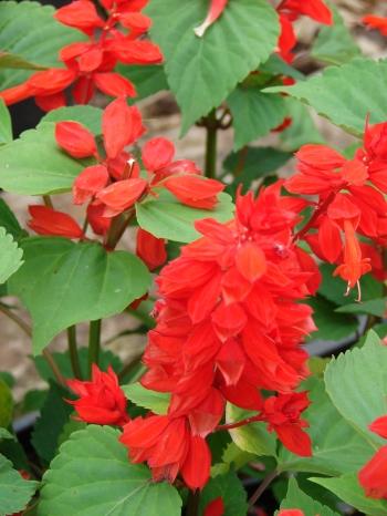 Scarlet sage leaf