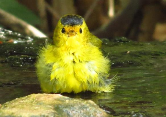 Wilson's Warbler bathing