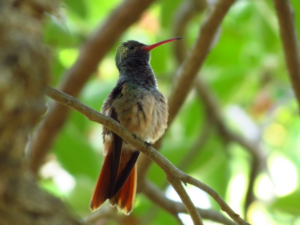 Buff-bellied Hummingbird QM May 2014