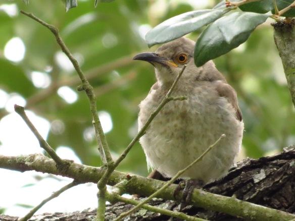 Curve-billed Thrasher fledgling