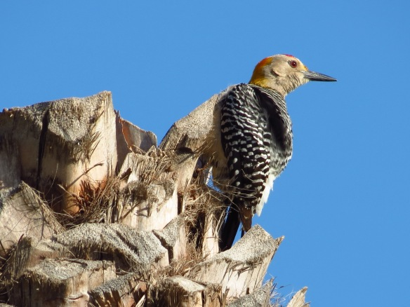 Golden-fronted Woodpecker Tres Palmas