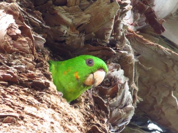 Green Parakeet head from cavity