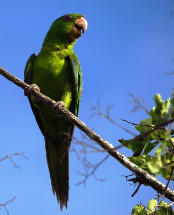 Green Parakeet pair sunny (2)