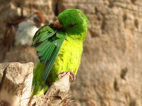 Green Parakeet preening