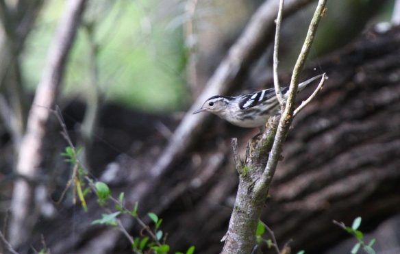 This female Black-and-White Warbler was one of the uncommon stars of the morning. She is arriving here quite early! Black-and-White Warblers nest well north and northeast of here. Once fall comes around, more Black-and-White Warblers will begin to establish their wintering grounds here in the valley. Keep your eyes out for new migrants as the summer progresses!