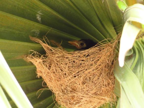 Bronzed Cowbird in HOOR nest