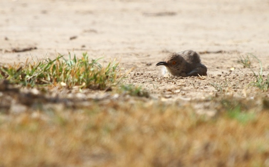Curve-billed Thrasher taking a dust bath.