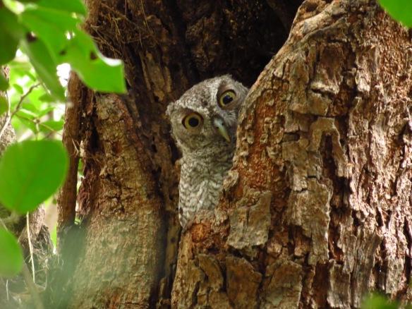 Eastern Screech-Owl juve